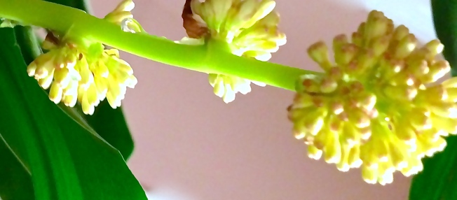 Miss. Dracaena Bloomed - My Corn Plants Bloomed